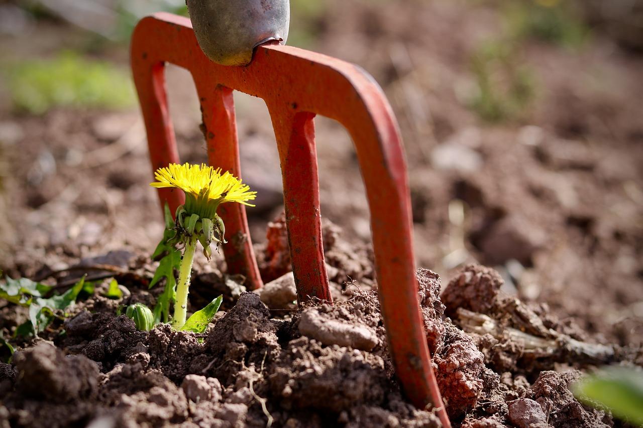 dandelion growing in dirt